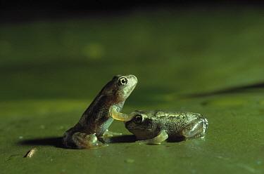 Common Frog (Rana temporaria) froglets on lily pad  -  Stephen Dalton