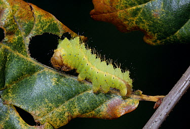 Chinese Oak Silk Moth (Antheraea pernyi) caterpillar  -  Stephen Dalton