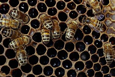 Honey Bee (Apis mellifera) workers on brood comb  -  Stephen Dalton