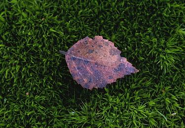 Birch (Betula sp) leaf on moss  -  Stephen Dalton