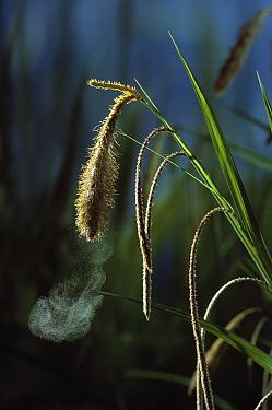 Pendulous Sedge (Carex pendula) shedding pollen  -  Stephen Dalton