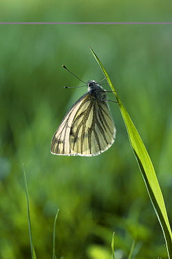 Green-veined White (Pieris napi) butterfly on end of grass blade  -  Stephen Dalton