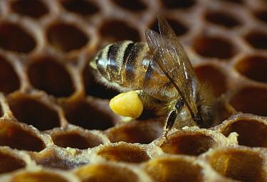 Honey Bee (Apis mellifera) worker filling pollen storage cell in honey comb, note full pollen basket, Europe  -  Stephen Dalton