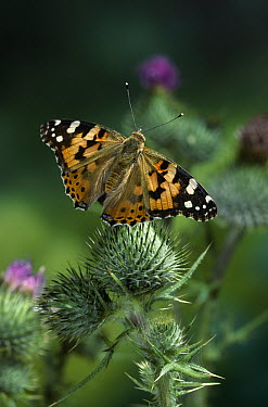 Painted Lady (Vanessa cardui) butterfly on thistle  -  Stephen Dalton