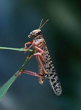 Desert Locust (Schistocerca gregaria) swarm phase  -  Stephen Dalton