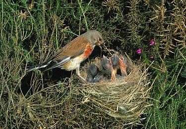 Linnet (Carduelis cannabina) feeding young in nest  -  Stephen Dalton
