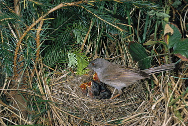 Common Whitethroat (Sylvia communis) male at nest with young  -  Stephen Dalton