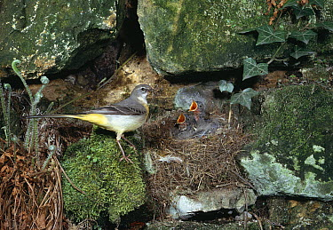 Grey Wagtail (Motacilla cinerea) at nest with young  -  Stephen Dalton