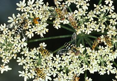 Hoverfly assortment and Ladybird or Ladybug pollinating inflorescence of Umbelliferae  -  Stephen Dalton