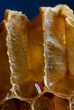Honey Bee (Apis mellifera) egg in brood comb cell  -  Stephen Dalton
