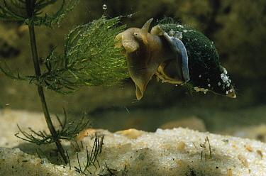 Great Pond Snail (Lymnaea stagnalis) browsing on pondweed  -  Stephen Dalton