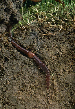 Earthworm in burrow exposed in sectioned topsoil  -  Stephen Dalton