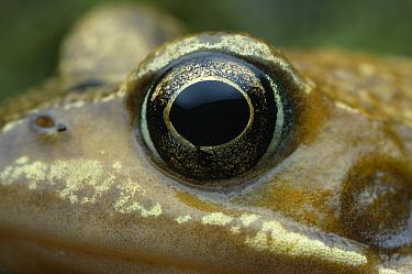 Common Frog (Rana temporaria) eye  -  Stephen Dalton