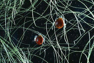 Short-legged Water Mite (Hydrachna sp) pair  -  Stephen Dalton