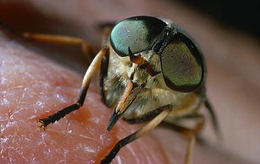 Fly Horse (Tabanus sudeticus) feeding on human, showing compound eyes and mouthparts  -  Stephen Dalton