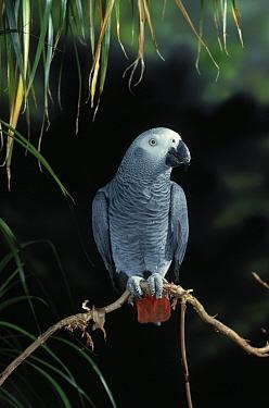 African Grey Parrot (Psittacus erithacus) perching  -  Stephen Dalton