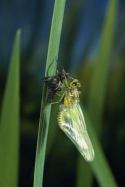 Broad-bodied Chaser (Libellula depressa) dragonfly, ecdysis  -  Stephen Dalton