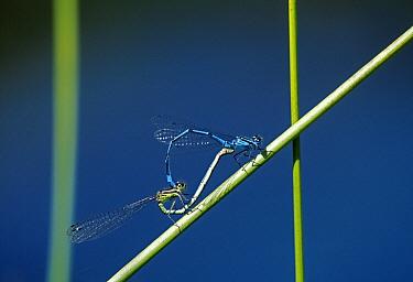 Azure Damselfly (Coenagrion puella) pair mating  -  Stephen Dalton