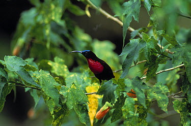 Scarlet-chested Sunbird (Nectarinia senegalensis) male  -  Stephen Dalton