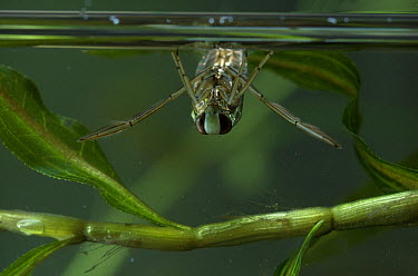 Backswimmer Bug (Notonecta sp) breathing at water surface  -  Stephen Dalton