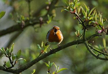 European Robin (Erithacus rubecula) singing  -  Stephen Dalton