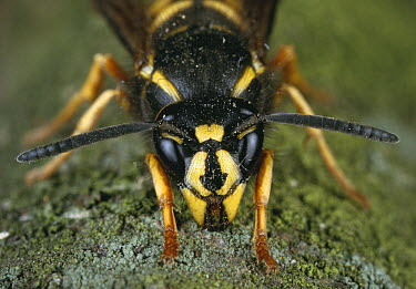 Common Wasp (Vespula vulgaris) worker chewing wood for nest material  -  Stephen Dalton