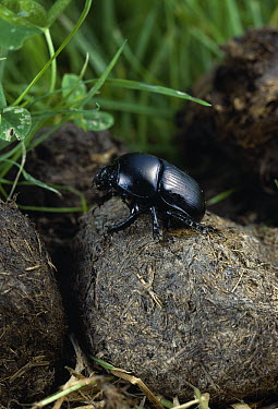 Dor Beetle (Geotrupes stercorarius) on horse dung  -  Stephen Dalton