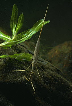 Water Stick Insect (Ranatra linearis) underwater at night  -  Stephen Dalton