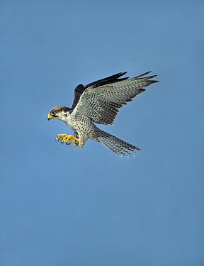 Lanner Falcon (Falco biarmicus) male flying  -  Stephen Dalton