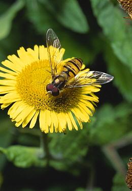 Marmalade Hover Fly (Episyrphus balteatus) on fleabane  -  Stephen Dalton