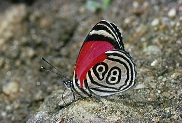 Eighty-nine (Diaethria marchalii) butterfly, Venezuela  -  Stephen Dalton
