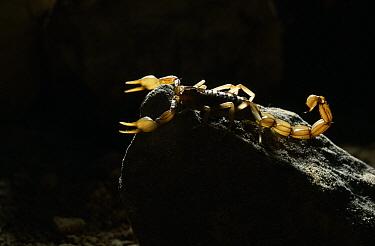 Common European Scorpion (Buthus occitanus), Spain  -  Stephen Dalton