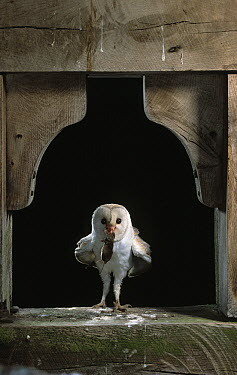 Barn Owl (Tyto alba) at entrance to bell tower, carrying rodent prey for young, Sussex, England  -  Stephen Dalton