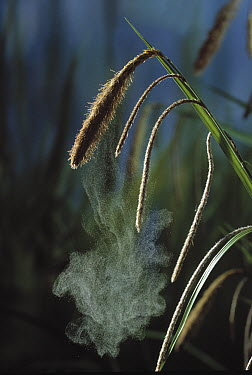 Pendulous Sedge (Carex pendula) releasing pollen onto air current  -  Stephen Dalton