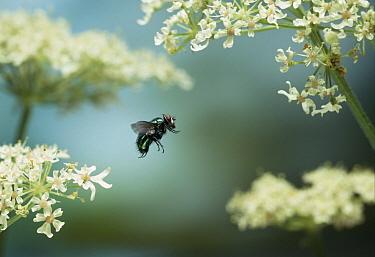 Greenbottle Fly (Lucilia caesar) flying, England  -  Stephen Dalton