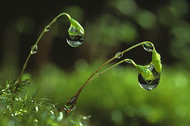 Moss capsules and raindrops, capsules contain sporangia which produce the spores  -  Stephen Dalton