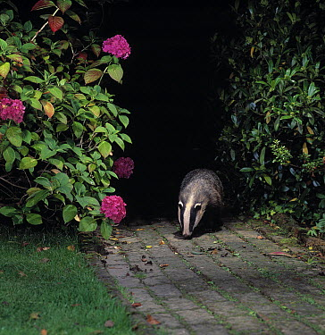 Eurasian Badger (Meles meles) on garden path at night  -  Stephen Dalton