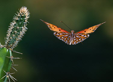 Gulf Fritillary (Agraulis vanillae) butterfly flying, Everglades, Florida  -  Stephen Dalton