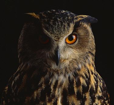 Eurasian Eagle-Owl (Bubo bubo) face  -  Stephen Dalton