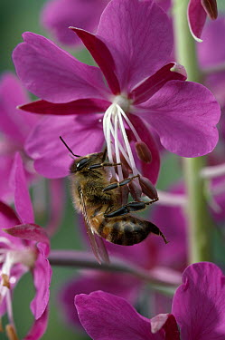 Honey Bee (Apis mellifera) foraging on Fireweed (Chamerion angustifolium)  -  Stephen Dalton