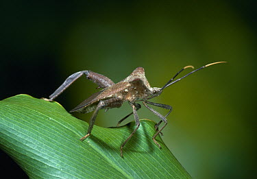 Leaf-footed Bug (Acanthocephala sp) on leaf, Venezuela  -  Stephen Dalton