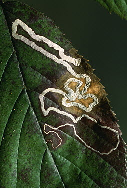 Moth larval trails in bramble leaf, caused by burrowing within leaf  -  Stephen Dalton