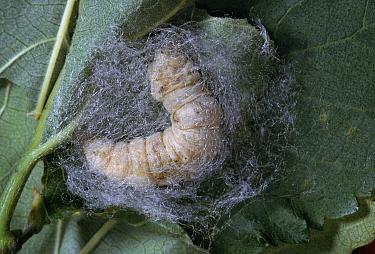 Silkworm (Bombyx mori) larva spinning cocoon  -  Stephen Dalton