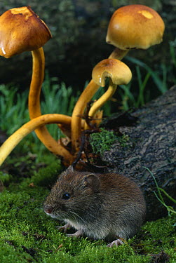 Bank Vole (Clethrionomys glareolus) with toadstools behind  -  Stephen Dalton
