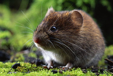 Bank Vole (Clethrionomys glareolus) close up  -  Stephen Dalton