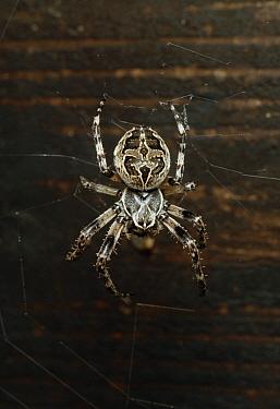 Bridge Orb Weaver (Araneus sclopetarius) spider, on web  -  Stephen Dalton