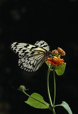 Paper Kite (Idea leuconoe) on flowers at night  -  Stephen Dalton