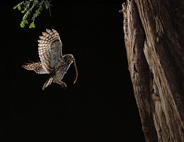 Little Owl (Athene noctua) flying to nest carrying earthworm prey for young  -  Stephen Dalton