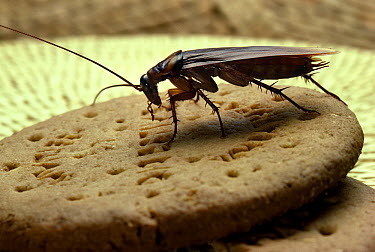 American Cockroach (Periplaneta americana) on biscuit  -  Stephen Dalton