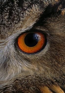 Eurasian Eagle-Owl (Bubo bubo) eye  -  Stephen Dalton